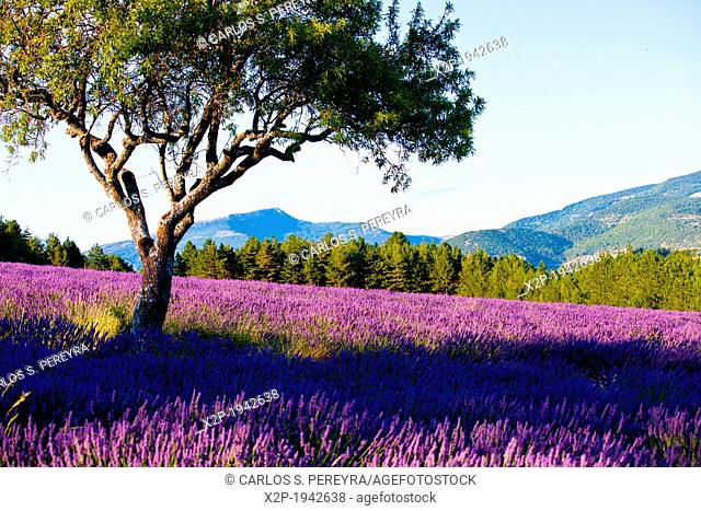 Blooming field of Lavender (Lavandula angustifolia) around Sault and Aurel, in the Chemin des Lavandes, Provence-Alpes-Cote d'Azur, Southern France, France