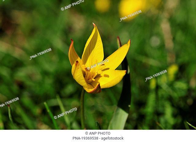 Cretean Tulip Tulipa bakeri - France, Europe