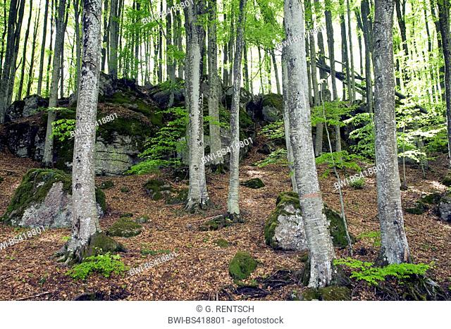 common beech (Fagus sylvatica), beech forest at Monte Amiata, Italy, Tuscany