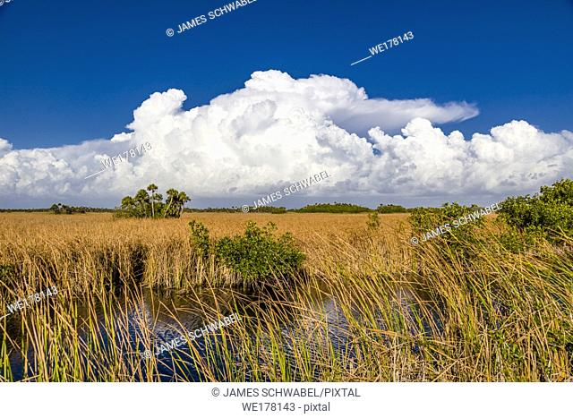 Sea of Grass with big white clouds in blue sky in Big Cypress National Preserve on Tamiami Trail in southwestern Florida
