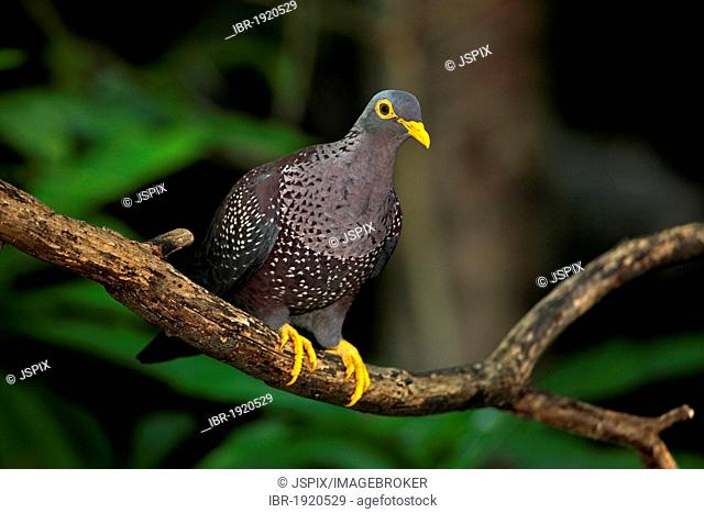 African olive pigeon or Rameron pigeon (Columba arquatrix), adult, perched, Africa