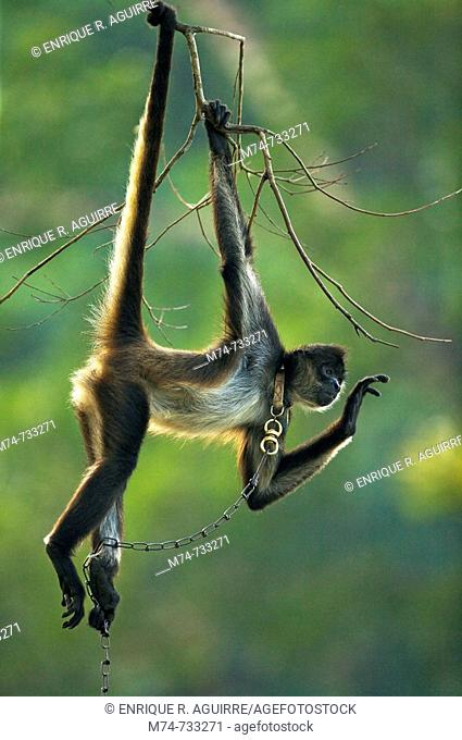 Geoffroy's Spider Monkey Ateles geoffroyi also known as Black-handed Spider Monkey, Belize, Central America captive