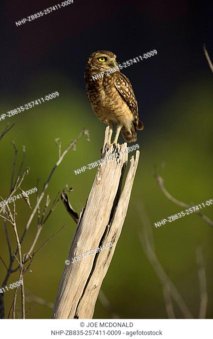 Burrowing Owl, Speotyto cunicularia, on dead tree, Cerrado, Brazil, South America