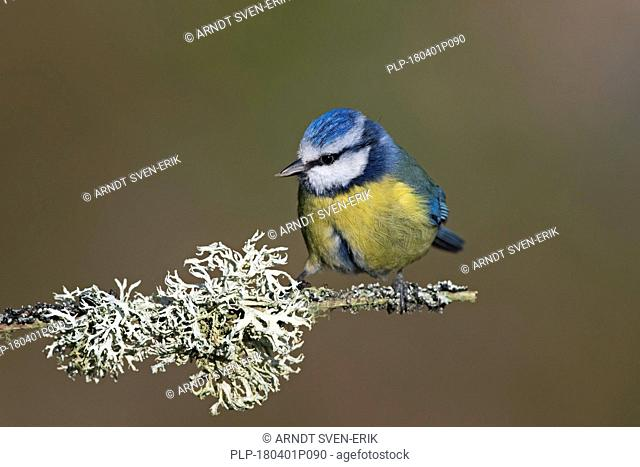 Eurasian blue tit (Cyanistes caeruleus) perched in tree on lichen covered branch