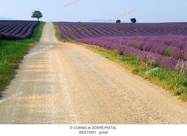 Path through Lavender field (Lavandula), Plateau de Valensole, Puimoisson, Provence, France