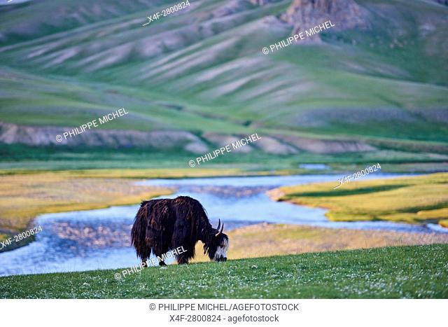 Mongolia, Bayankhongor province, an yak in the steppe
