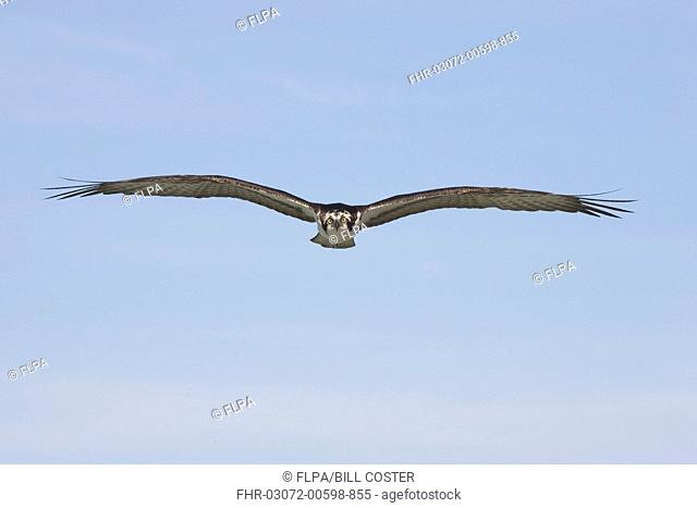 Osprey Pandion haliaetus adult, in flight, Sanibel Island, Florida, U S A