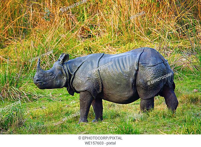 The Indian rhinoceros, Rhinoceros unicornis, Kaziranga National Park, Assam, India