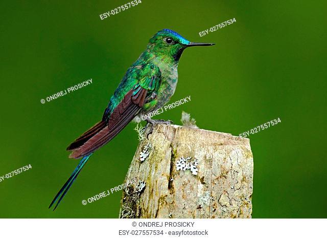 Long-tailed Sylph, hummingbird
