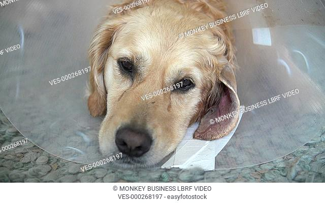 Sad looking golden retriver lying on the floor wearing vets recovery collar in slow motion.Shot on Sony FS700 in PAL format at a frame rate of 200fps
