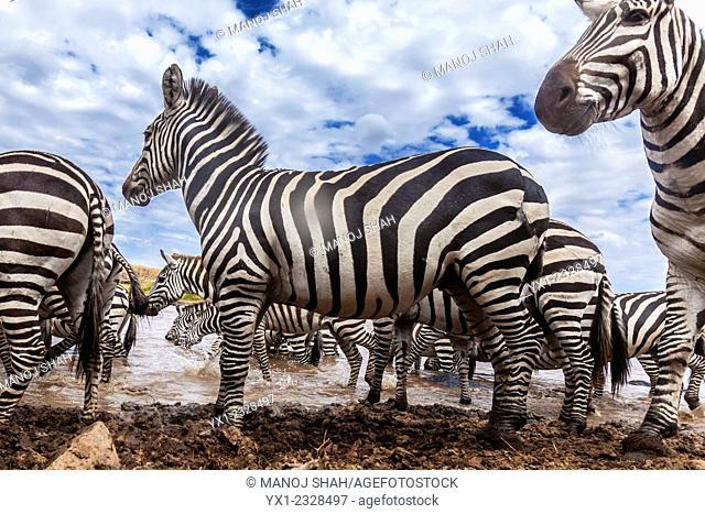 Hidden camera captures a zebra herd at the Mara River, Masai Mara National Reserve, Kenya