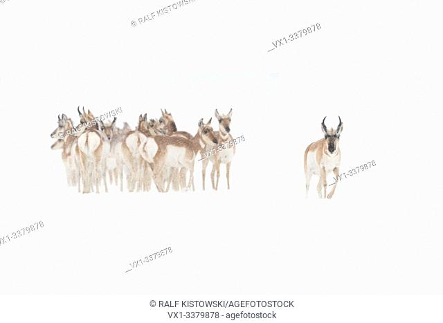Pronghorns ( Antilocapra americana ) in winter, small group, crowded togehter, seems anxious, one couraged male walks ahead, USA