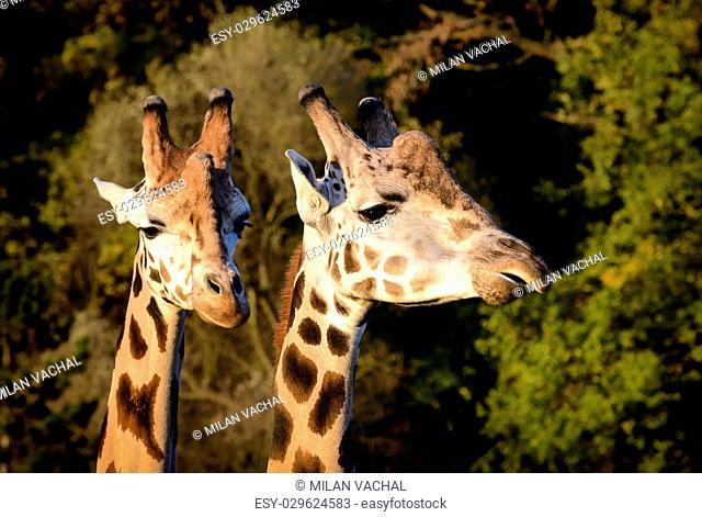 Funny giraffe's face. Giraffe close up