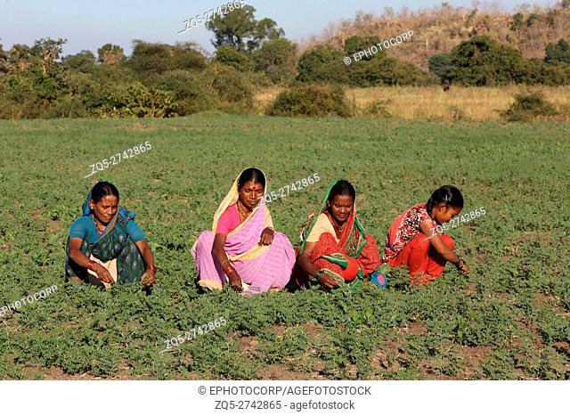 Women working in the field, NAIKADA TRIBE, Bhandarwadi Village, Tauka Kinvat, Maharashtra, India