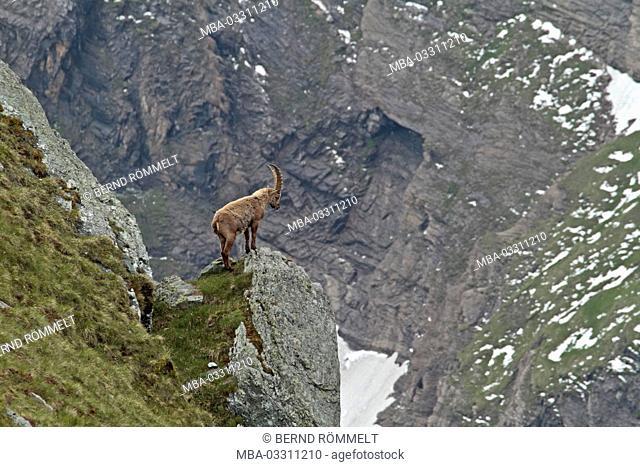 Austria, Carinthia, High Tauern (Hohe Tauern), High Tauern National Park, alp Capricorn, Capricorn, Capra ibex
