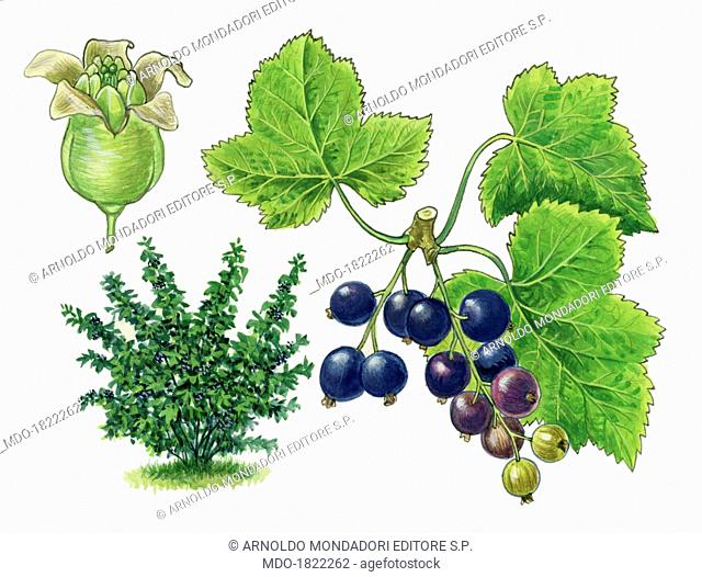Blackcurrant (Ribes nigrum), by Giglioli E., 20th Century, ink and watercolour on paper. Whole artwork view. Drawing of the plant with leaves and flowers