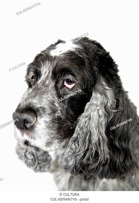Portrait of a grey dog