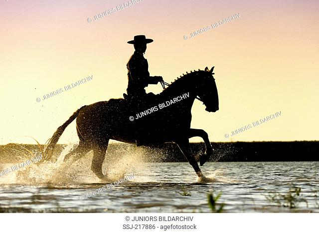Lusitano. Rider in traditional dress galloping on a palomino through water, silhouetted against the evening sky. Portugal
