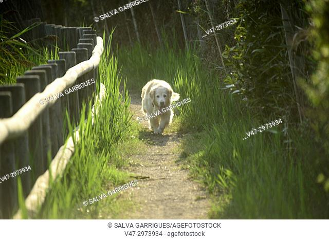 Dog walking along the path with wooden fence in the Estany of Cullera, Valencia, Spain