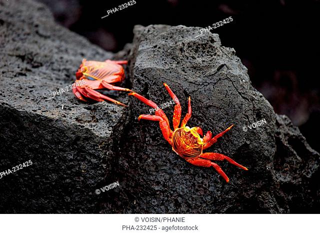 Sally Lightfoot Crab Grapsus Grapsus or Red Rock Crab