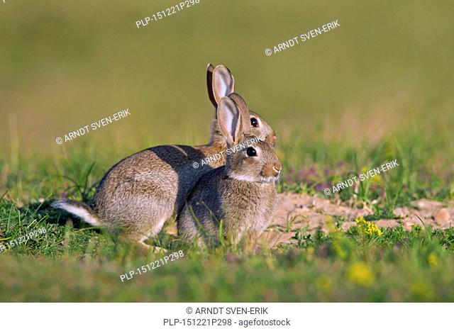 Two young European rabbits / common rabbit (Oryctolagus cuniculus) in meadow in summer