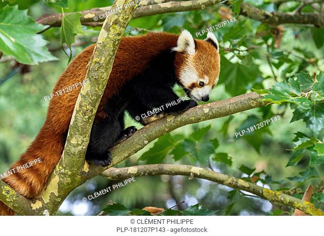 Red panda / lesser panda (Ailurus fulgens) foraging in tree, native to the eastern Himalayas and southwestern China