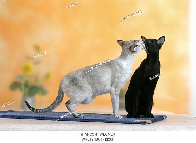 Siamese, Cat, seal-tortie-tabby-point, und, Oriental, Shorthair, Cat, black,ebony