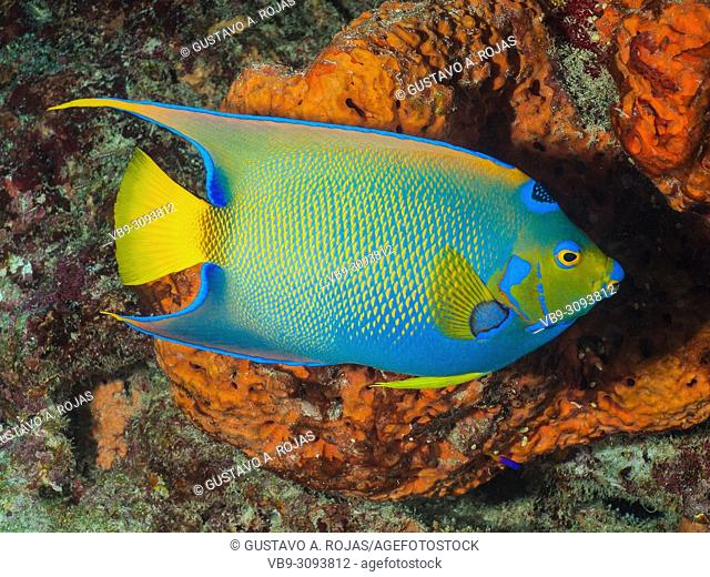 Holacanthus ciliaris queen angelfish