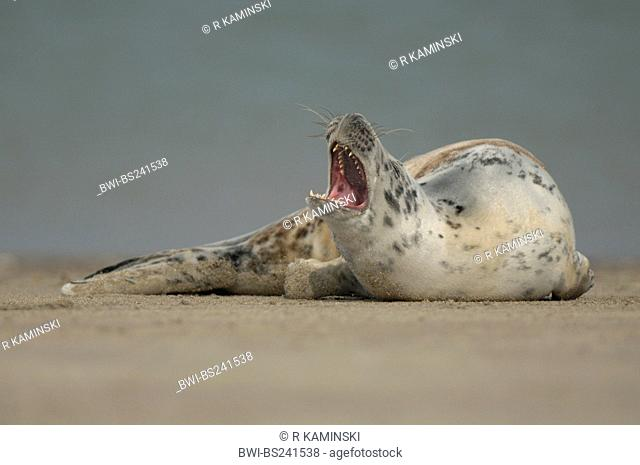 gray seal Halichoerus grypus, at the baech, resting and yawning, Germany, Schleswig-Holstein, Heligoland