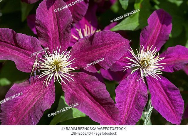 Clematis 'Niobe' burgundy color flowers