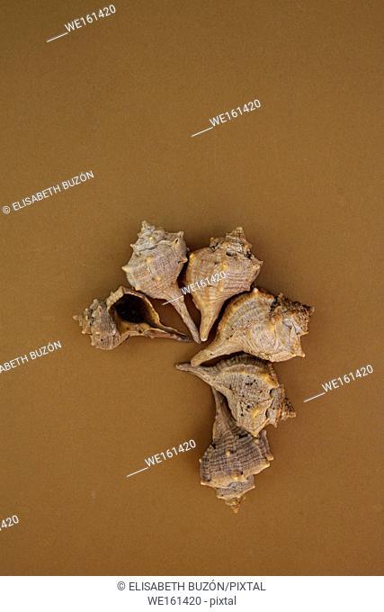 Shells of molluscs