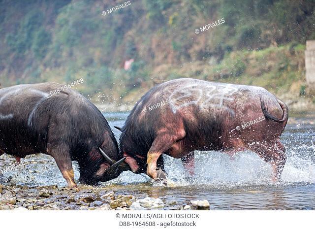 China , Guizhou province , Palle village , Bullfighting along the Bala river