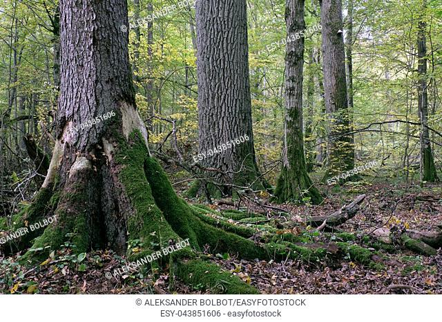 Deciduous stand with hornbeams and oak in autumn, Bialowieza Forest, Poland, Europe