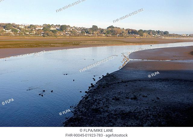 View of estuary habitat with ducks and mudflats at low tide, Hayle Estuary RSPB Reserve, Cornwall, England, November