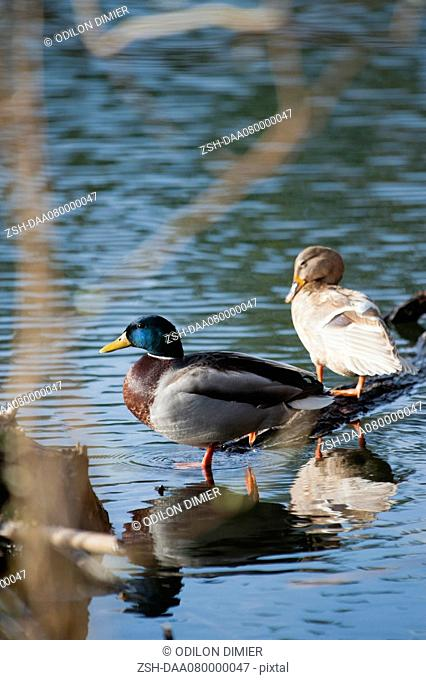 Male and female Mallard ducks in shallow water