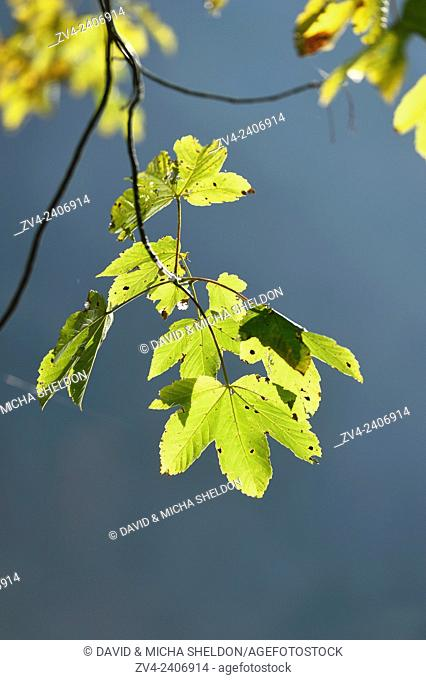 Bigleaf maple or Oregon maple (Acer macrophyllum) leaves in a forest in autumn