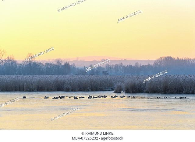 Frozen lake in winter with Grey goose, Anser anser, Reinheimer Teich, Reinheim, Hesse, Germany