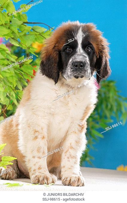 St Bernhard dog puppy