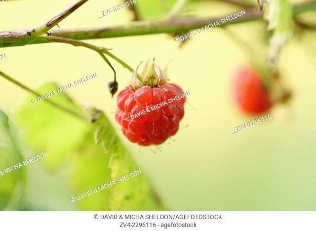 Close-up of a European raspberry (Rubus idaeus) fruit in early summer