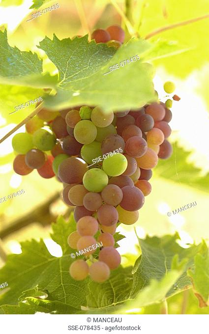 grape, Stock Photo, Picture And Rights Managed Image  Pic