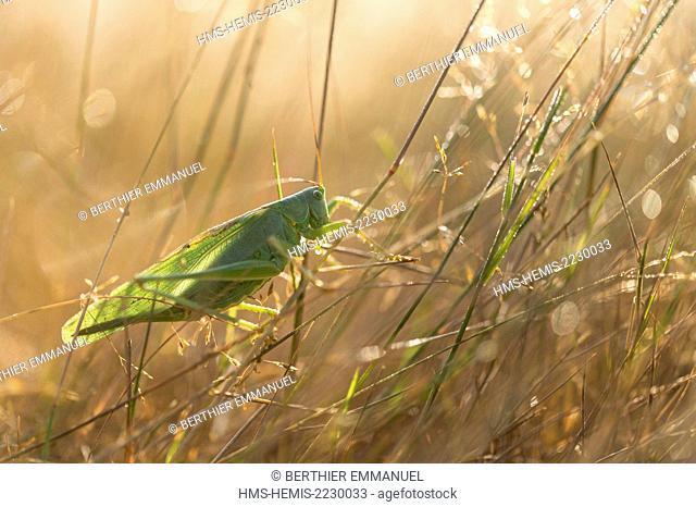 France, Ille et Vilaine, Saint Just, cricket on Cojoux natural protected area