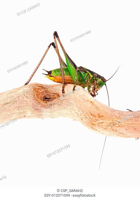 Eupholidoptera chabrieri - Bush cricket insect