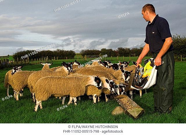 Domestic Sheep, shepherd feeding mule lambs, prior to sale, Cumbria, England