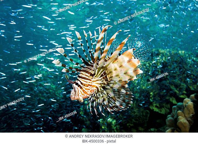 Hunting Red lionfish (Pterois volitans) on a huge school of fish Hardyhead Silverside (Atherinomorus lacunosus), Red sea, Dahab, Sinai Peninsula, Egypt