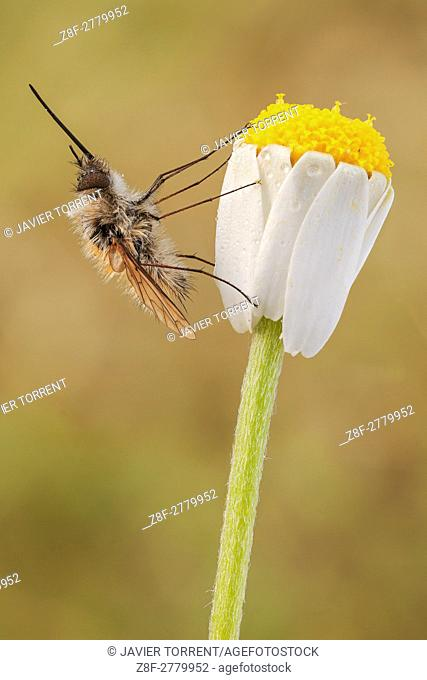The Large Bee-fly, Bombylius major, is a bee mimic. The eggs are flicked by the adult female toward the entrance of the underground nests of solitary bees and...
