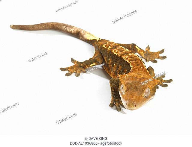 Crested Gecko (Correlophus ciliatus), Harlequin colouring
