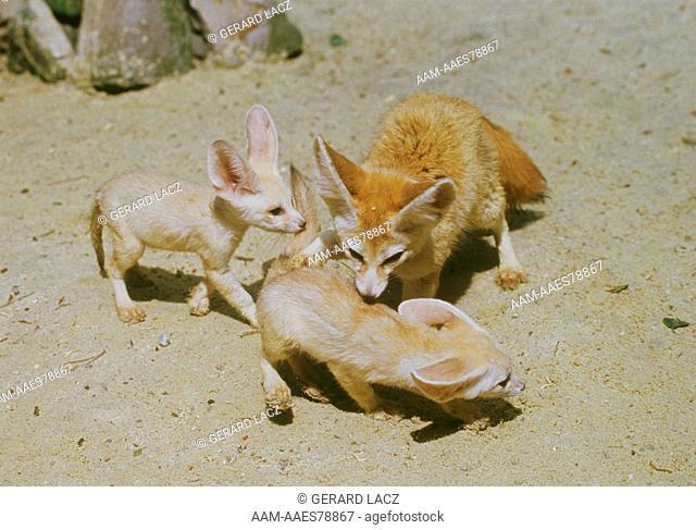 Fennec fox with young (Fennucus zerda)