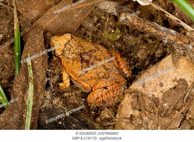 Camouflaged toad, Camouflage, Mimicry, Anura, Aquidauana, Mato Grosso do Sul, Brazil