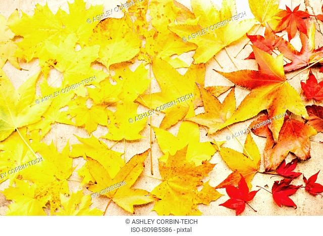 Autumn maple leaves on white surface, overhead view