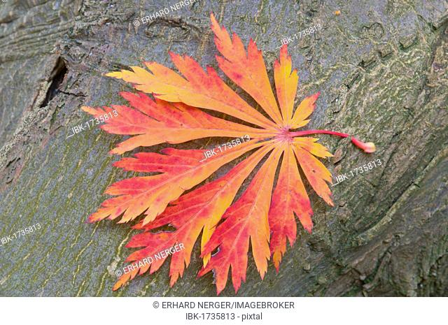 Acer Japonicum Full Moon Maple Stock Photos And Images Age Fotostock